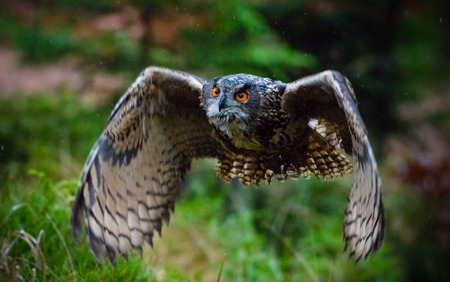 swooping: Eagle Owl swoops in low hunting its prey.