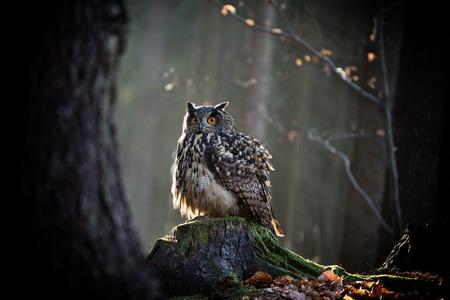 swooping: Eagle Owl is sitting on the tree stump. Wildlife photo. Stock Photo