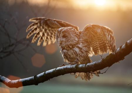 Tawny Owl está sentado en la rama de abedul durante la puesta de sol.