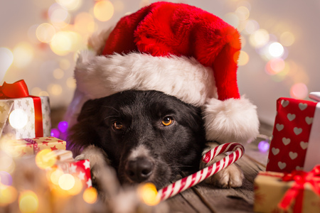 christmas gift box: Border collie in santa outfit and christmas gifts
