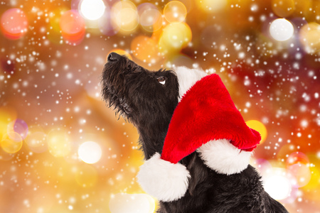 Black dog in santa hat watching the snow