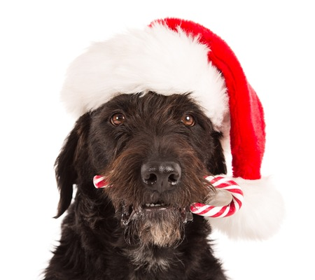 colored bottle: Black dog in santa outfit and christmas gifts Stock Photo