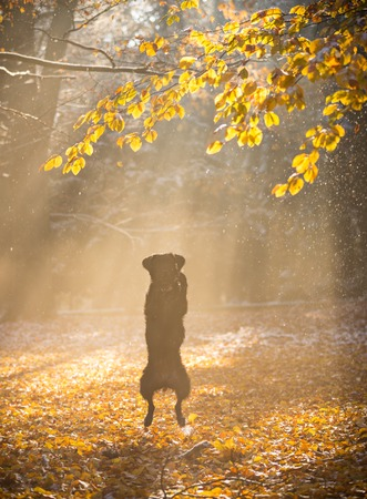 Black dog sitting in autumn forest covered with snow.