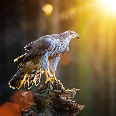 Goshawk is sitting on the tree stump in the forest, close-up. Stock Photo