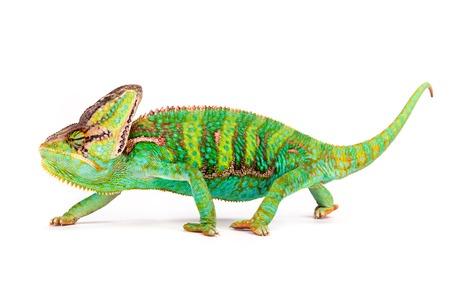 Gesluierde kameleon (Chamaeleo calyptratus) close-up. Stockfoto