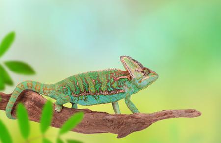 veiled: Veiled chameleon (chamaeleo calyptratus) close-up.
