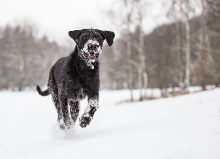 Black mutt dog outside in winter snow.