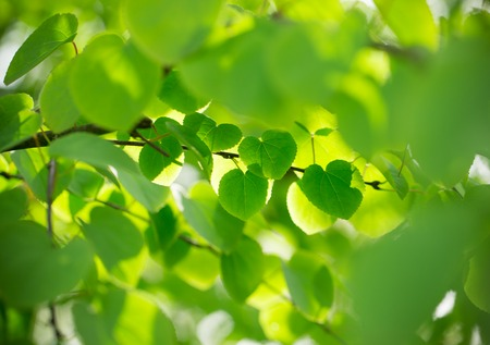 Green leaves background, summer or spring season