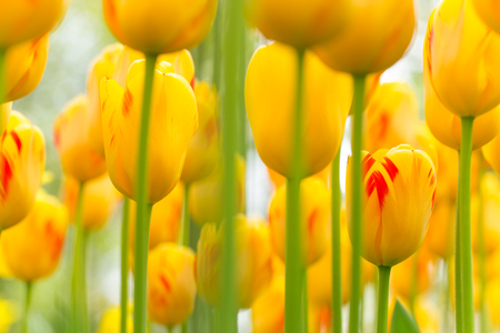 red tulip: Beautiful view of colored tulips.