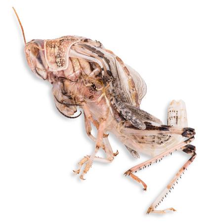 Desert locust on white background