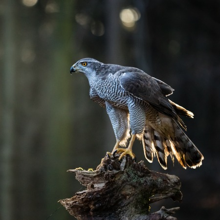 A male Goshawk (Accipiter gentilis) sitting on the stump in forest during sunset. Wildlife photo. Stock Photo