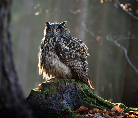 tree disc: Eurasian Eagle Owl (Bubo Bubo) sitting on the stump, close-up, wildlife photo.