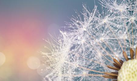 Close-up of dandelion seeds on blue natural background. Macro shot.