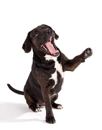 Black dog posed on studio taking his paw.