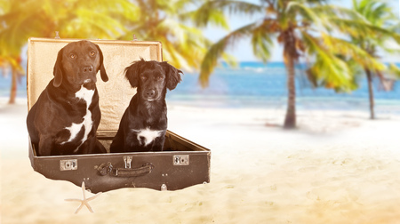 Black dogs posed in old vintage suitcase on beach.