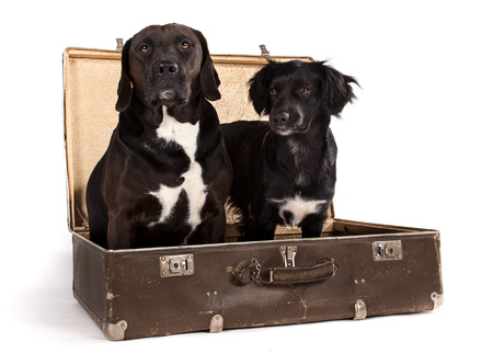 Black dogs posed in old vintage suitcase in studio. Imagens