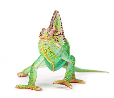 Versluierde kameleon (chamaeleocalyptratus) close-up.
