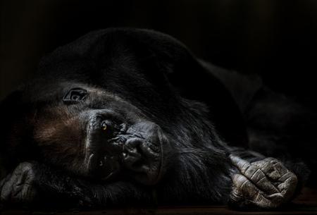 Retrato de adulto macho gorila empujando middlefinger. Foto de archivo - 80033714