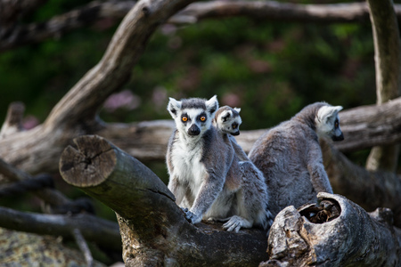 Tailed lemurs (Lemur catta) sitting on a branch Stock Photo