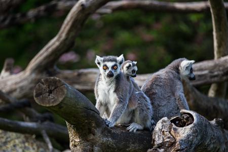 Tailed lemurs (Lemur catta) sitting on a branch Фото со стока