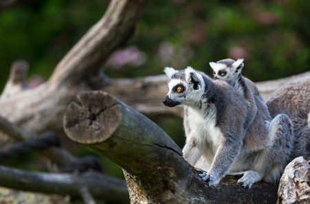 Tailed lemurs (Lemur catta) sitting on a branch Фото со стока - 80085072