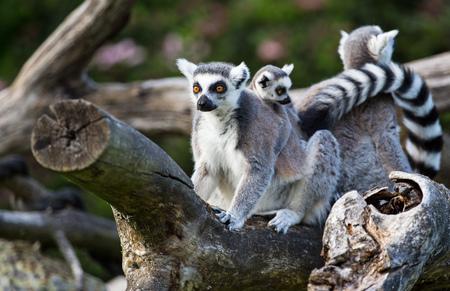 꼬리가 달린 된 여우 원숭이 (여우 원숭이 catta)는 나뭇 가지에 앉아