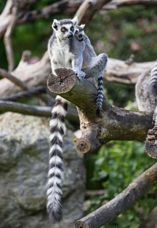 Tailed lemurs (Lemur catta) sitting on a branch Фото со стока - 80169899