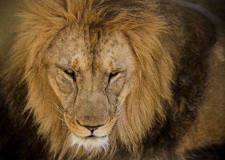 Portrait of a male African lion Stock Photo