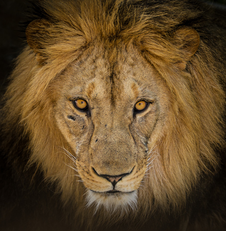 Portrait of a male African lion 版權商用圖片