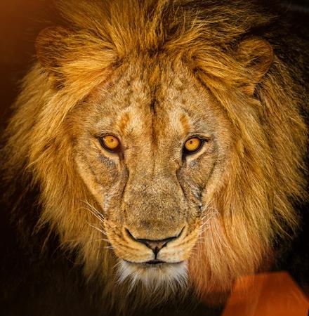 남성 아프리카 사자 초상화