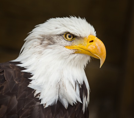 Portrait of a bald eagle (haliaeetus leucocephalus) Фото со стока - 81102569