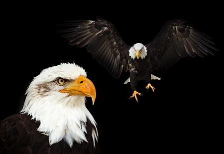 Portrait of a bald eagle (haliaeetus leucocephalus)