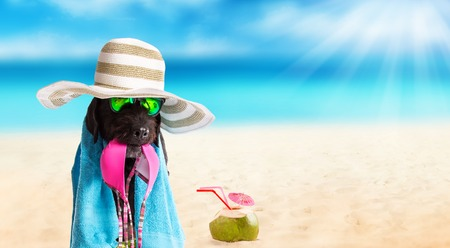 copy paste: Funny summer black dog with summer accessories.