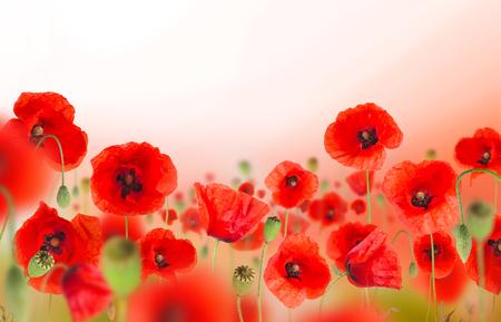 美しいポピー背景テキストの無料スペースに。 写真素材
