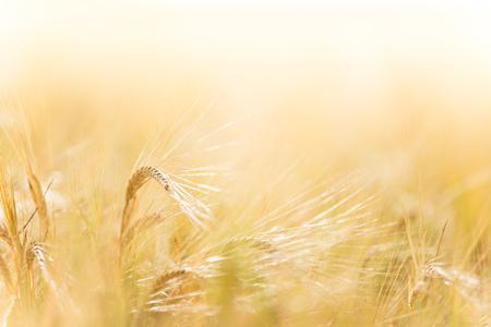 A wheat field, fresh crop of wheat, close-up.