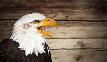 whitetailed: Portrait of a bald eagle (haliaeetus leucocephalus)