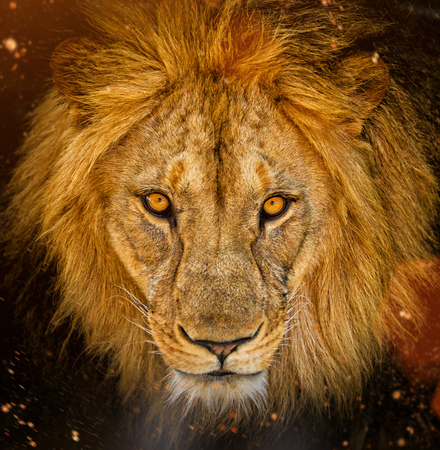 Portrait of a male African lion 스톡 콘텐츠