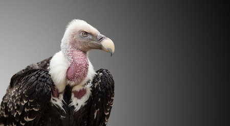 A Ruppells Griffon Vulture (Gyps rueppellii). Stock Photo - 81639048