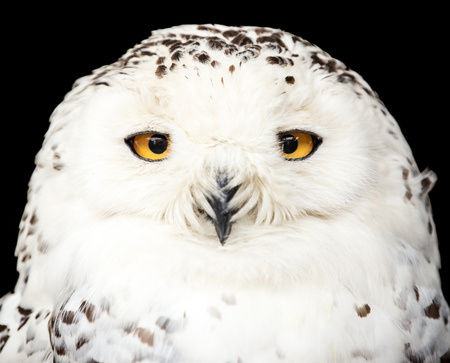 portret van een prachtige sneeuwuil Stockfoto