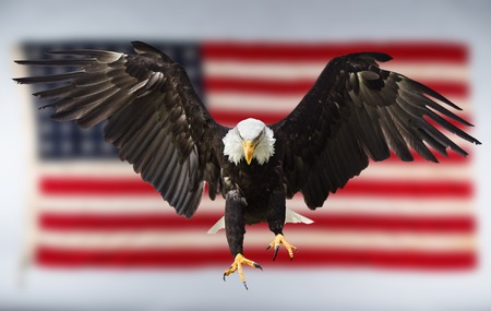 North American Bald Eagle flying with American flag. Stock Photo