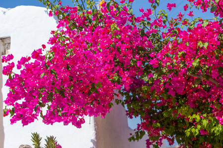 plastered wall: Beautiful blooming bougenvilia in Emporio on the island of Santorini in Greece, Europe.