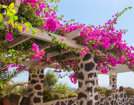 oratoria: Beautiful blooming bougenvilia in Emporio on the island of Santorini in Greece, Europe.