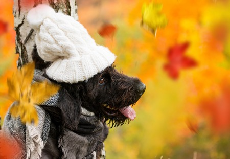 Black mutt dog with hood and scarf posing in autumn park. Stock Photo