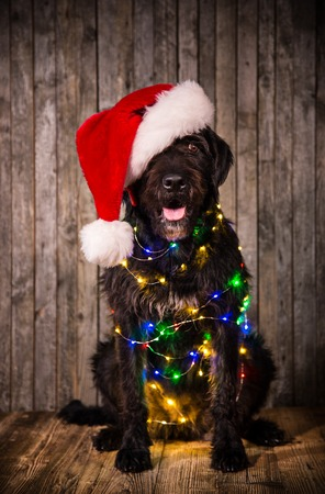 Black dog in santa cap Stock Photo