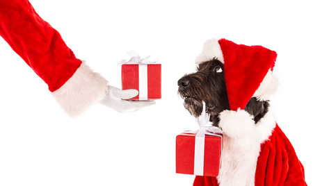 Black dog in santa cap Stock Photo
