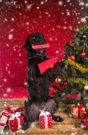 Black dog with red Christmas gift