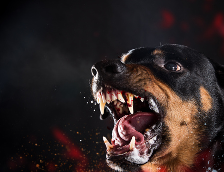 Ferocious Rottweiler barking mad on black background.