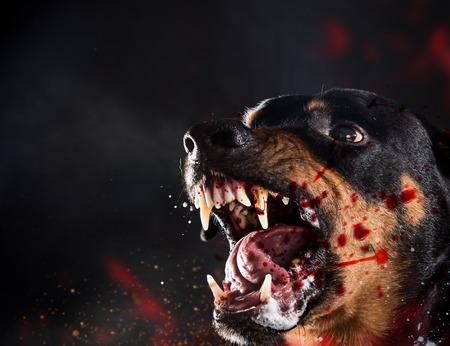 Ferocious Rottweiler barking mad on black background. Portrait photo. 스톡 콘텐츠