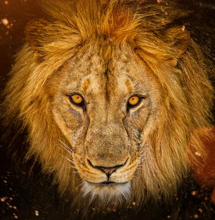 Close-up portrait of a male African lion.
