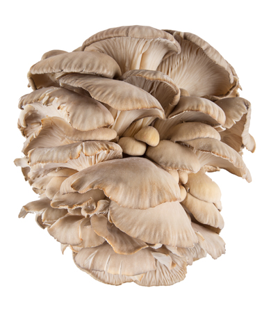 Oyster mushroom on white background, close-up. Stock Photo